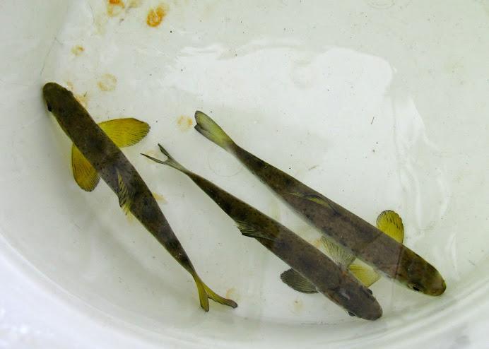 Wild Salmon Smolts