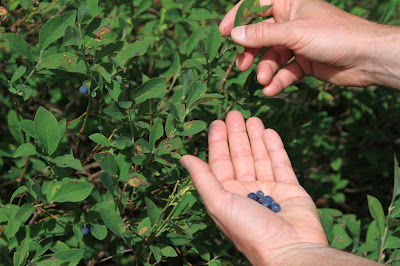 Gathering Berries – Oval-Leaved Blueberry