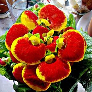 Calceolarias