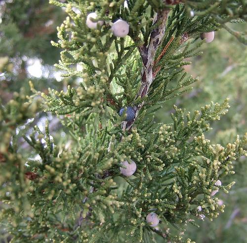 Fruit seeds of southern michigan juniperus virginiana