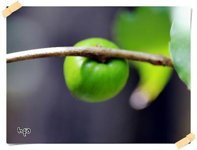 buah muda abiu