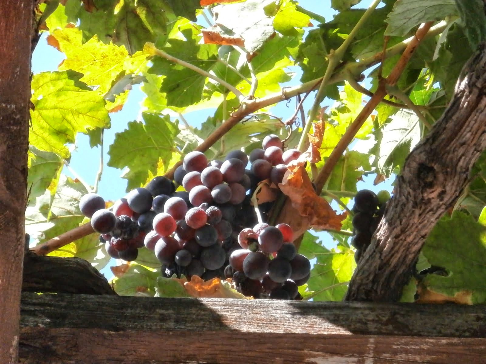Grapes, Sunset Restaurant, Chorafakia, Crete, September 2014