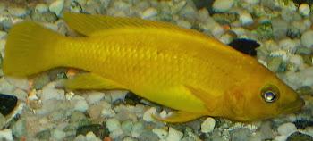 Akvaryum balığı limon çiklit hakkında bilgi