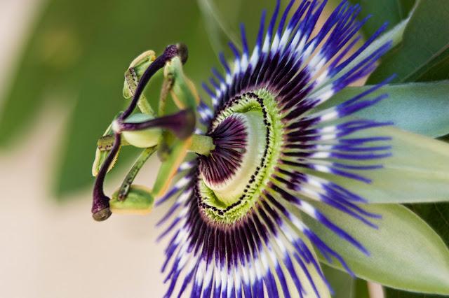 Flor de la pasión en fotosmacro.blogspot.com