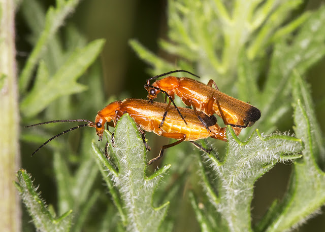 Common Red Soldier Beetle, Rhagonycha fulva.  Hutchinson's Bank, 29 July 2015.