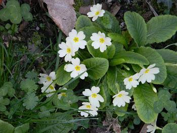 Primula vulgaris (Primula comune)