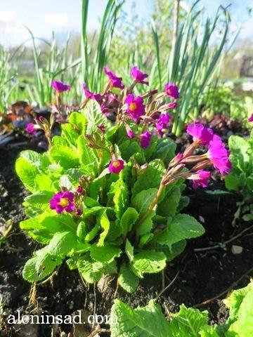 Primula, примулы, розовые, лиловые, фиолетовые, аленин сад