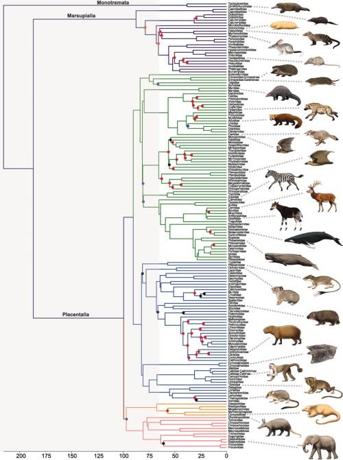 albero genealogico mammiferi