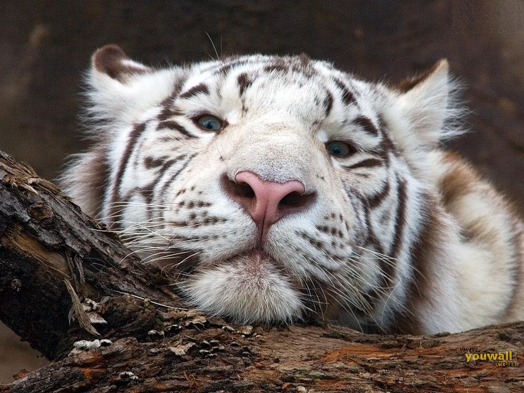 tiger wallpapers white tiger head wallpaper