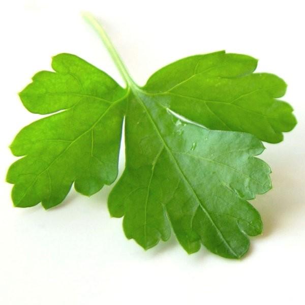 coriander aphrodisiac or cilantro aphrodisiac