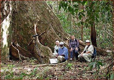 big trees, pohon, hutan tropis, pohon raksasa, pohon besar, trees, tumbuhan raksasa