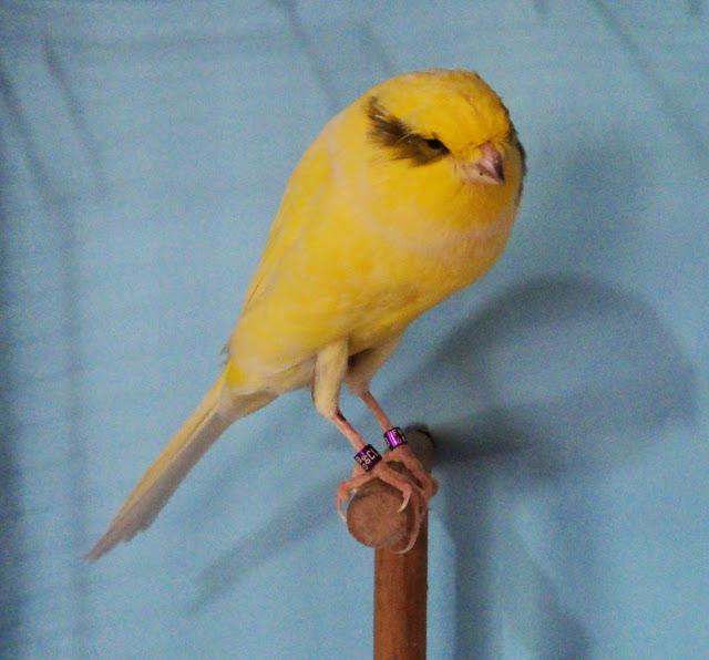 ... burung kenari termasuk jenis burung kicau yang paling banyak dicari