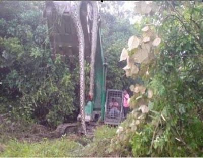 Misteri Ular Kalimantan