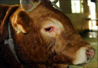 Touro comove a todos ao chorar pela vida. Incrível e emocionante o sentimento dos animais!