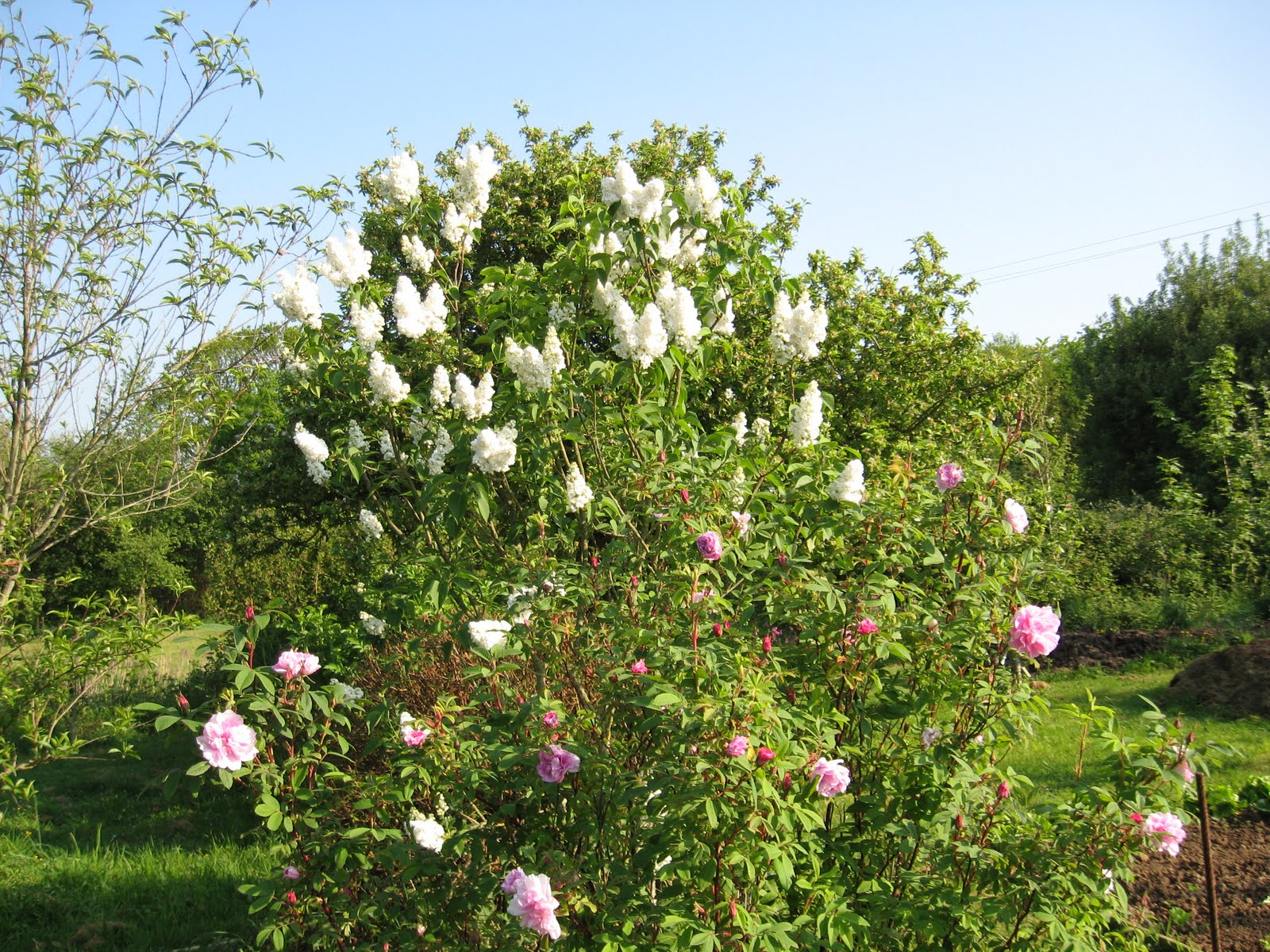 Le jardin de nachu sur le march - Puceron rosier savon noir ...