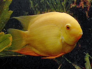 albino severum fish