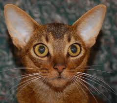 abyssinian cat photos