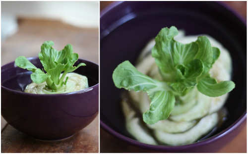 17 Apart How To Regrowing Bok Choy