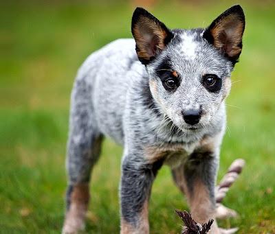 Australian Cattle Puppy
