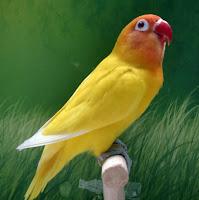 Cara membuat agar lovebird ngekek panjang yang paling dominan adalah