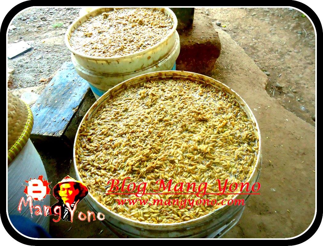 Cara membuat benih padi sendiri.