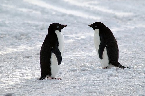 пингвините адели с нов птичигрип