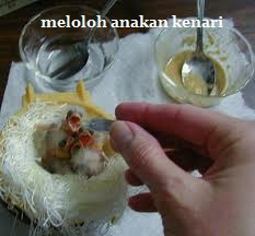 Mr. Anoom: Menjinakkan Kenari Dengan Teknik Hand Feeding