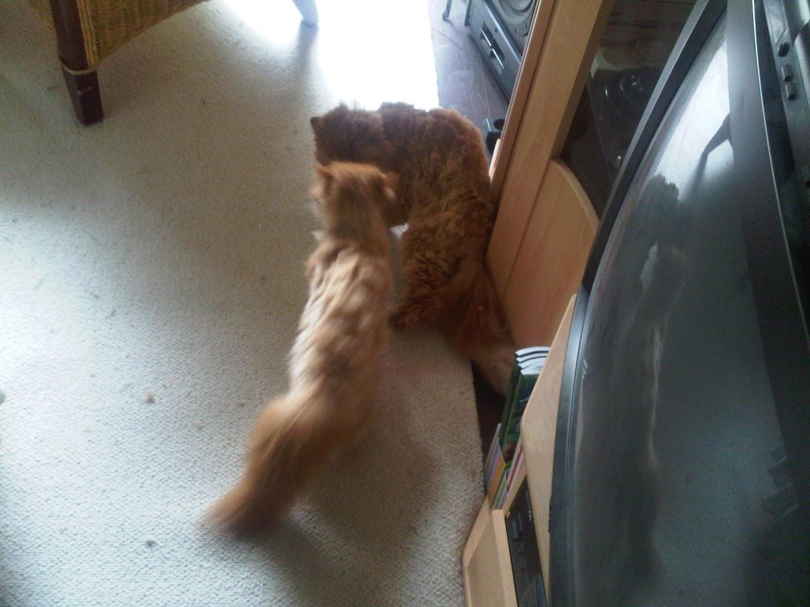 Katze attackiert Kater.