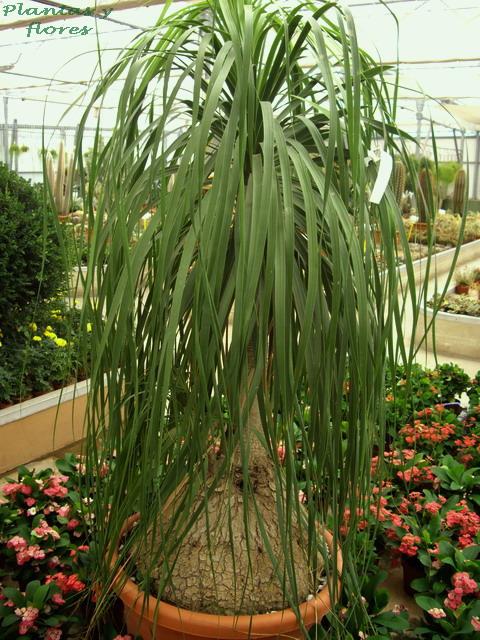 Plantas y flores beaucarnea recurvata - Planta de exterior resistente ...