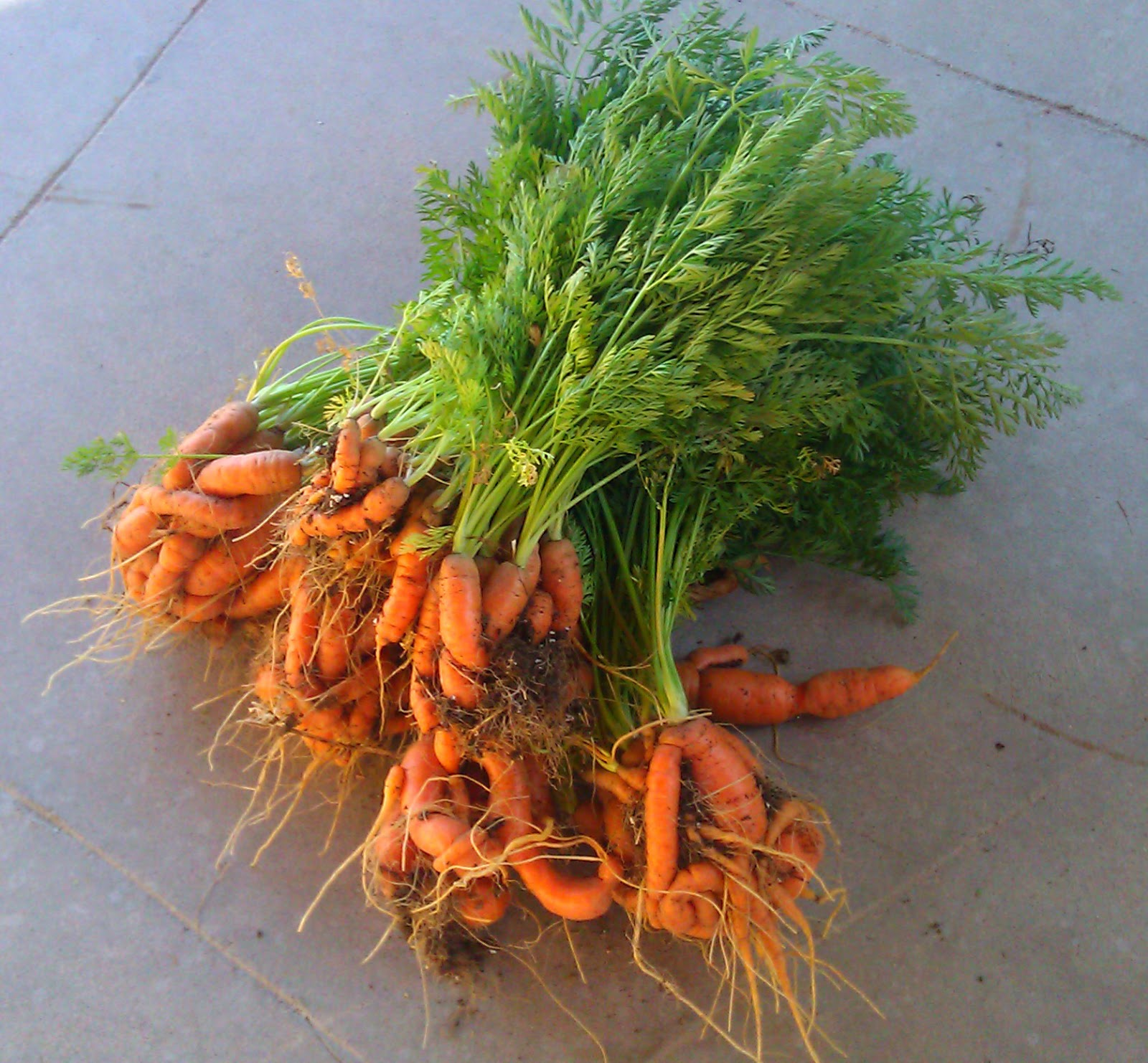 28+ carrot container garden growing carrots introducing the .