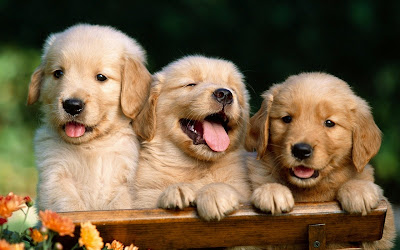 How to train puppies of Golden Retriever
