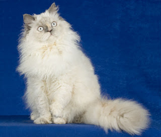 silkirk rex cats kitten pussycat gato macska breeds picture animal pets