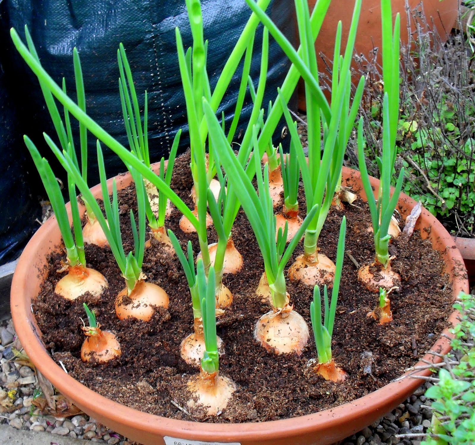 Top Kitchen Garden How To Grow Onions Indoors