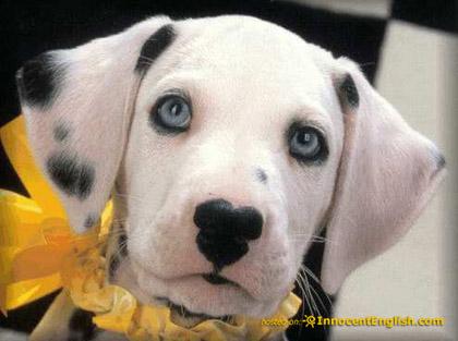 ... and other Doggie Stuff: Franki the Blue-Eyed Black Lab/Dalmatian Mix