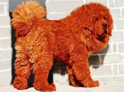 Mastín Tibetano el perro más caro del Mundo.