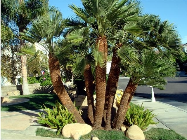 Arte y jardiner a palmito chamaerops humilis familia for Jardines con palmeras