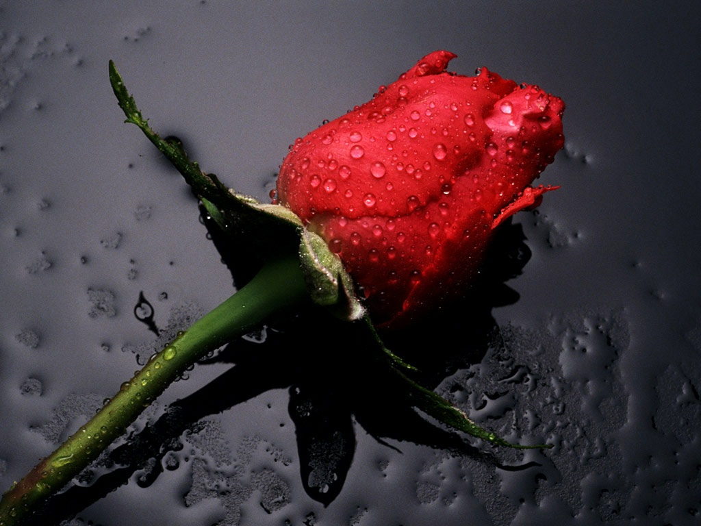 single pink flower rose - photo #42