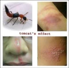Tomcat Serangga Beracun