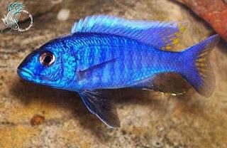 Cá ali màu xanh