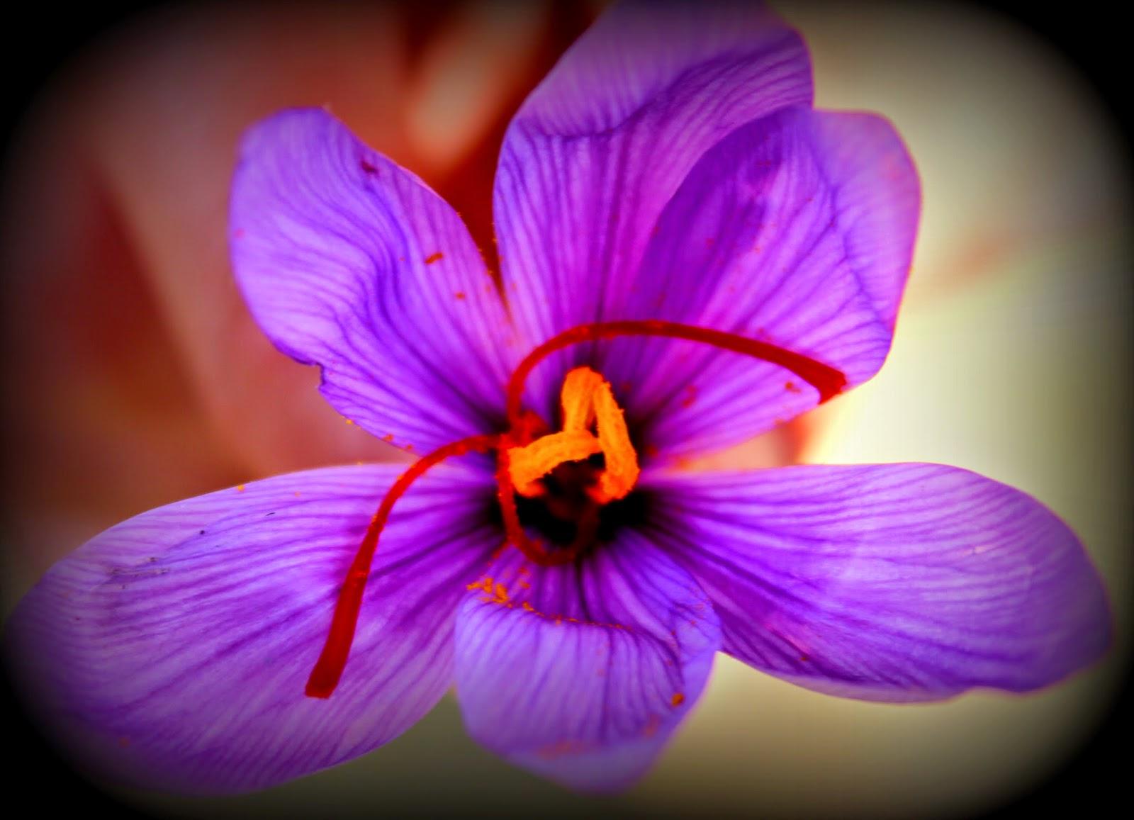 Flor Rosa del Azafrán