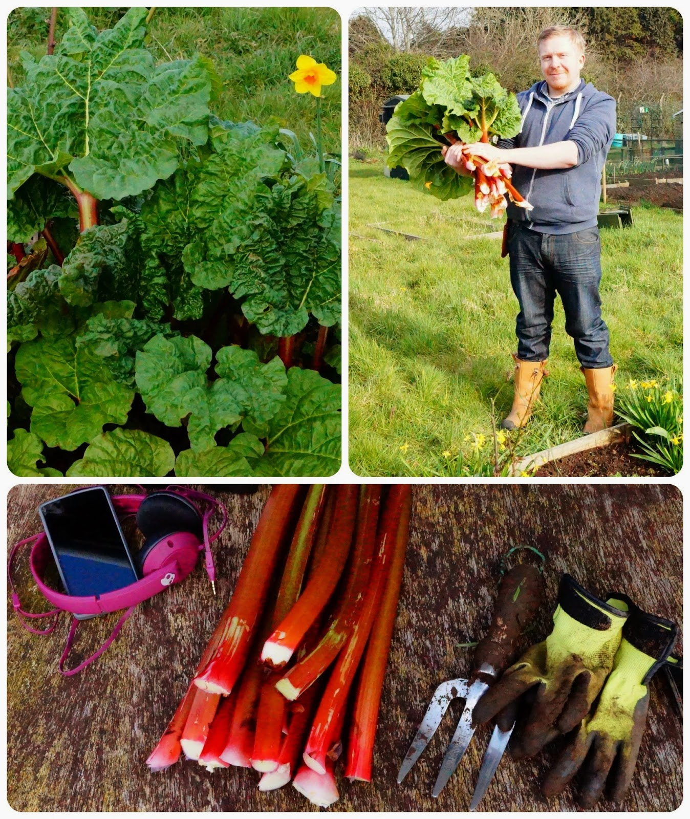 first harvest; the joy of rhubarb - 'growourown.blogspot.com' ~ an allotment blog