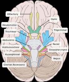 Funcion del musculo esqueletico cardiaco
