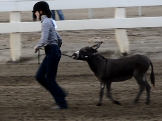 miniature donkey showmanship