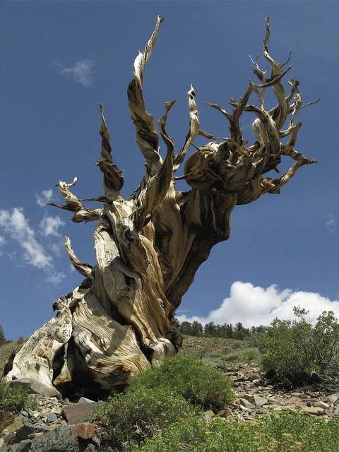 عينات '' لاقدم شجرة'' في العالم بالصور 3_bristlecone