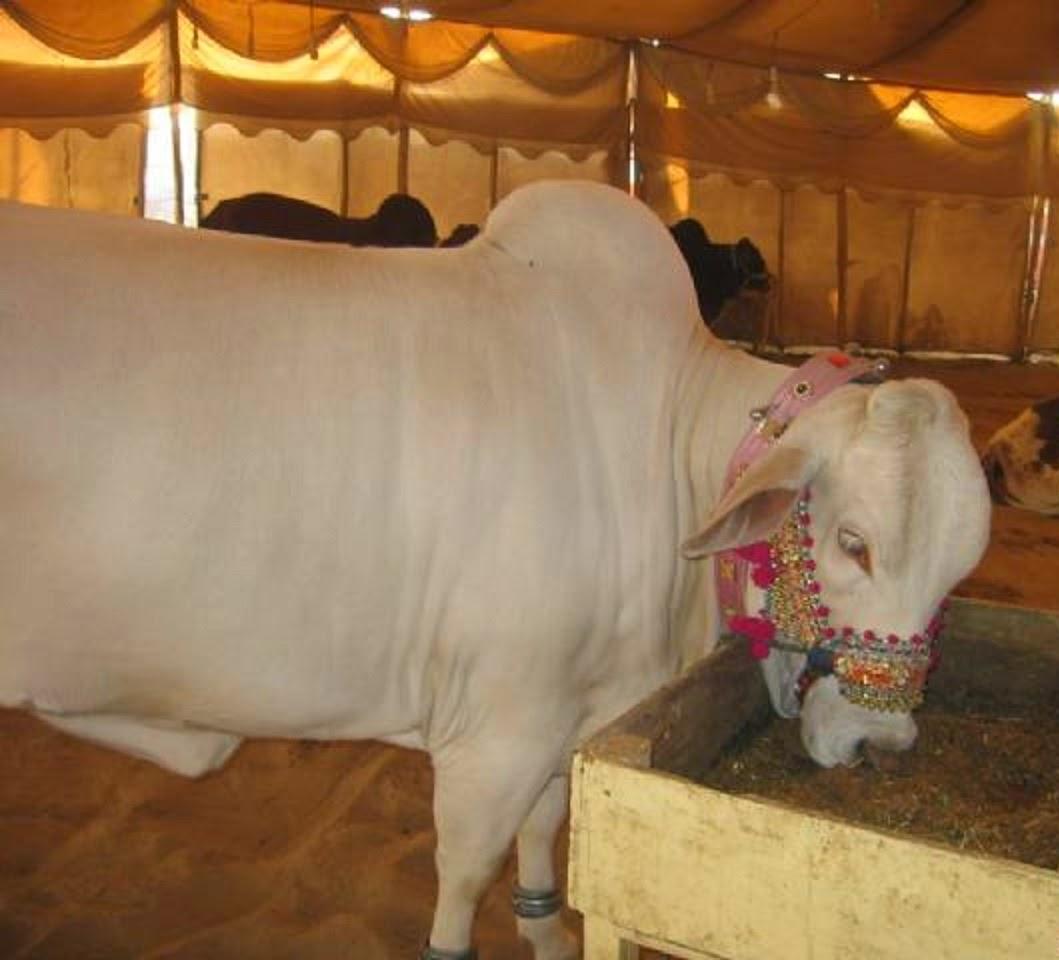 Cute And Beautiful Bakra Eid Cow Wallpaper