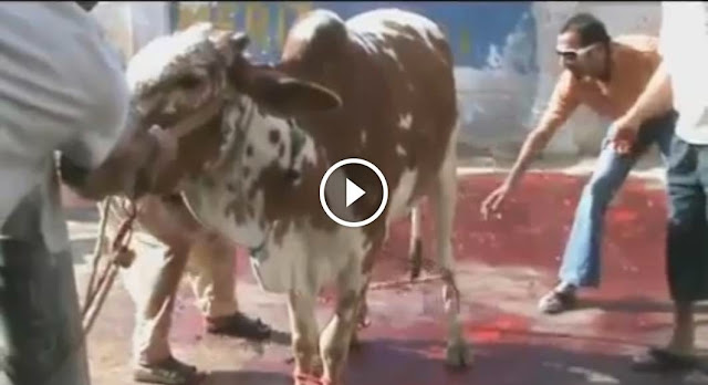 Funny Cow Attempting to Run Before Eid Qurbani 2014, Funny Cow Attempting to Run Before Eid Qurbani 2014,  cattle farming in pakistan,Cow Run Away, Cow runnig on road, bull ran away video, cow qurbani videos, cow pic 2014, cow eid, cow eid 2014,