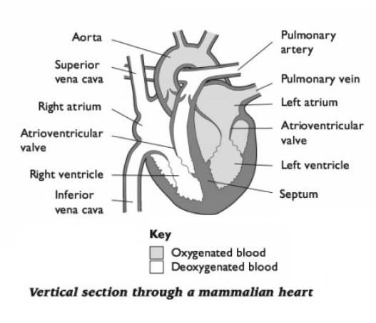 Chapter 13 – Cardiovascular System