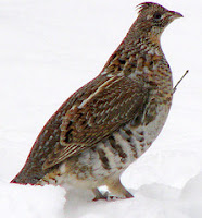 grouse bird
