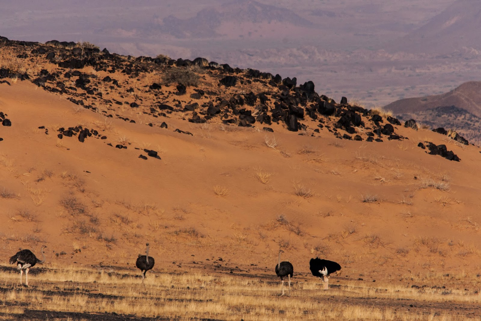 Ostriches damaraland namibia safari