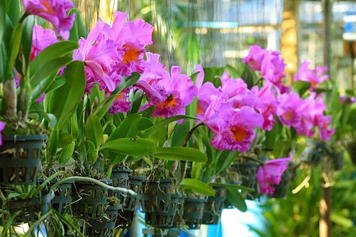 In A Thai Orchid Nursery The Plants Here Are Cattleya